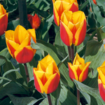 Tulipa 'German Flag'
