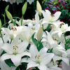 Lilium 'Bright Diamond'
