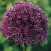 Allium 'Lucy Ball'