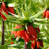 Fritillaria imperialis 'William Rex'