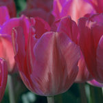 Tulipa 'Pretty Princess'