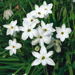 Ipheion uniflorum 'Album'