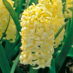 Hyacinthus 'City of Haarlem'