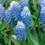 Muscari 'Ocean Magic'