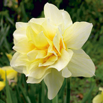Narcissus 'Butter & Eggs'
