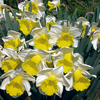 Narcissus 'Holland Sensation'