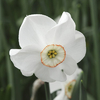 Narcissus 'Dreamlight''