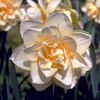 Narcissus 'Manley'