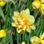 Narcissus 'Texas'