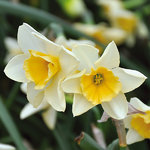Narcissus 'Sweet Love'