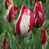 Tulipa 'Bridesmaid'