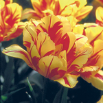 Tulipa 'Monsella'