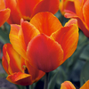 Tulipa 'Jimmy'