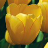 Tulipa 'Golden Oxford'