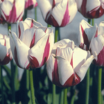 Tulipa 'World Expression'