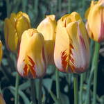 Tulipa 'La Courtine'