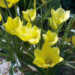 Tulipa bat. 'Yellow Jewel'