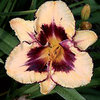 Hemerocallis 'Eye Catching'