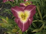 Hemerocallis 'Royal Saracen'