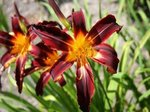 Hemerocallis 'Black Plush'