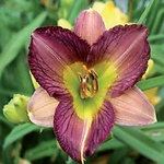 Hemerocallis 'Princess Krisha'