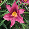 Hemerocallis 'Russian Rhapsody'