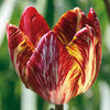 Tulipa 'The Lizard'