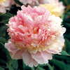 Paeonia 'Angel Cheeks'