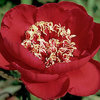 Paeonia 'Barrington Belle'