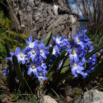 Chionodoxa 'Blue Giant'