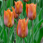 Tulipa 'Request'