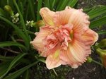 Hemerocallis 'Yazoo Jim Terry'