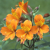 Alstroemeria aurea 'Orange King'