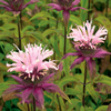 Monarda fistulosa 'Beauty of Cobham'