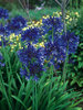 Agapanthus 'Midnight Star'