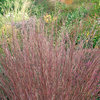 Andropogon 'Blue Heaven'