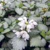 Lamium 'White Nancy'