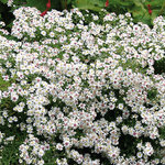 Aster 'Havelland'