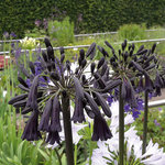 Agapanthus 'Black Magic'