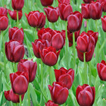 Tulipa 'National Velvet'