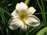 Hemerocallis 'Quietly Awesome'