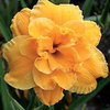 Hemerocallis 'Kitty Dinse'
