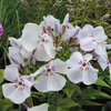 Phlox paniculata 'Flame Light Blue''