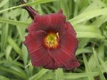 Hemerocallis 'Dark Avanger'