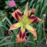 Hemerocallis 'Wild and Wonderful'