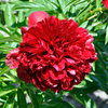 Paeonia 'Red Grace'
