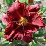 Hemerocallis 'Comic Strip'