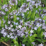 Amsonia orientalis 'Blue Ice'