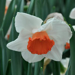 Narcissus 'Cool Flame'